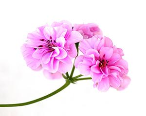 Fotolia-Fleur